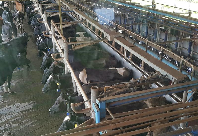 kettle-farm-milking